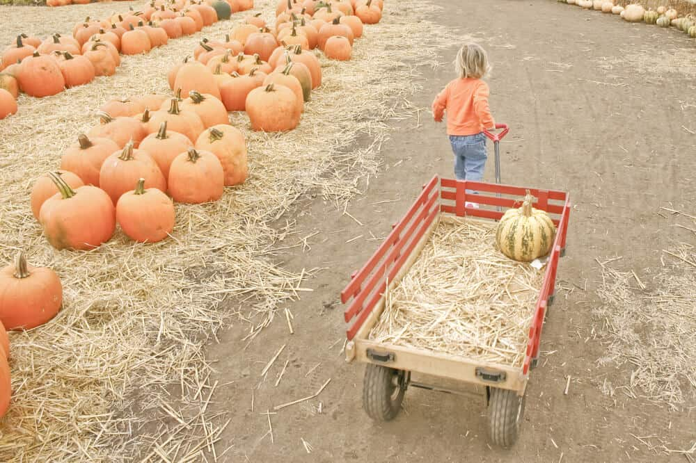 little kid with a wagon at a pumpkin patch