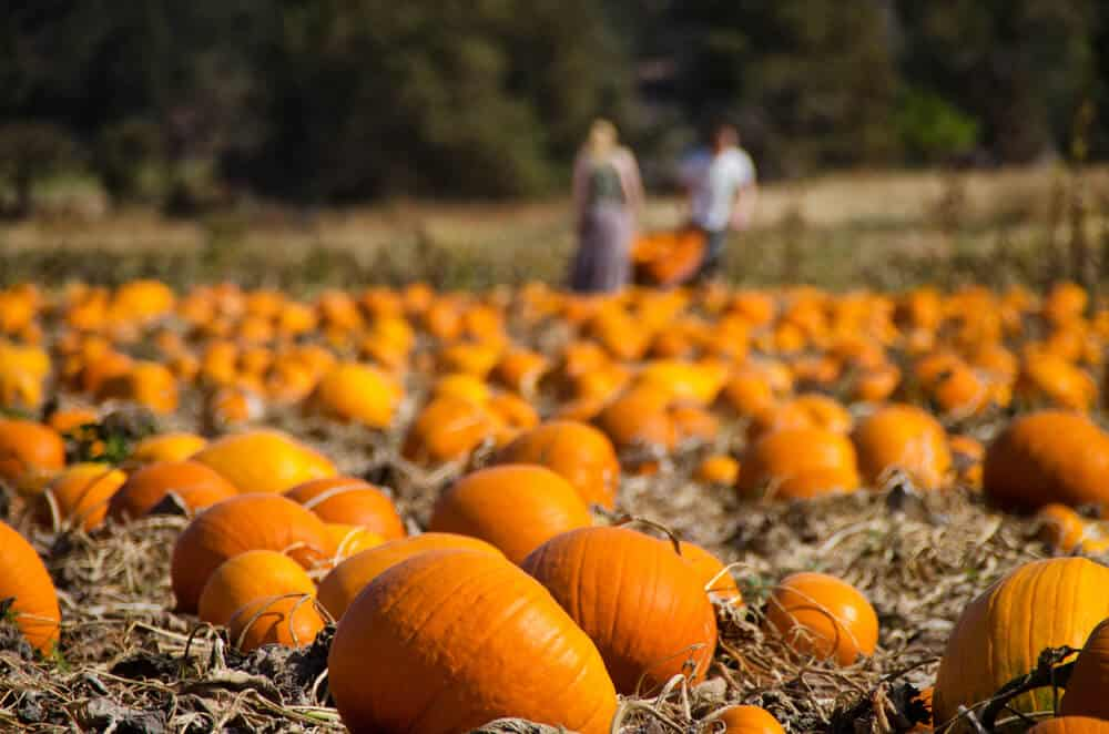 people in the background picking pumpkins at a pumpkin patch in california