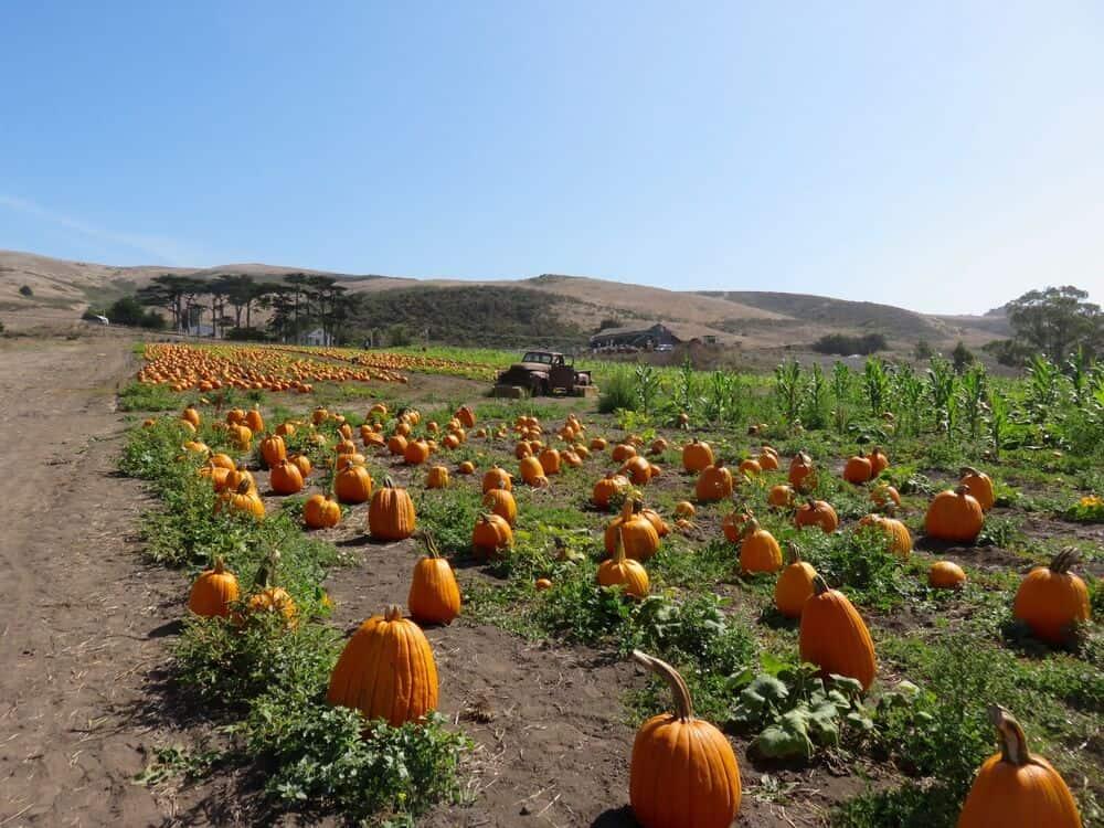 pumpkin patch in half moon bay california