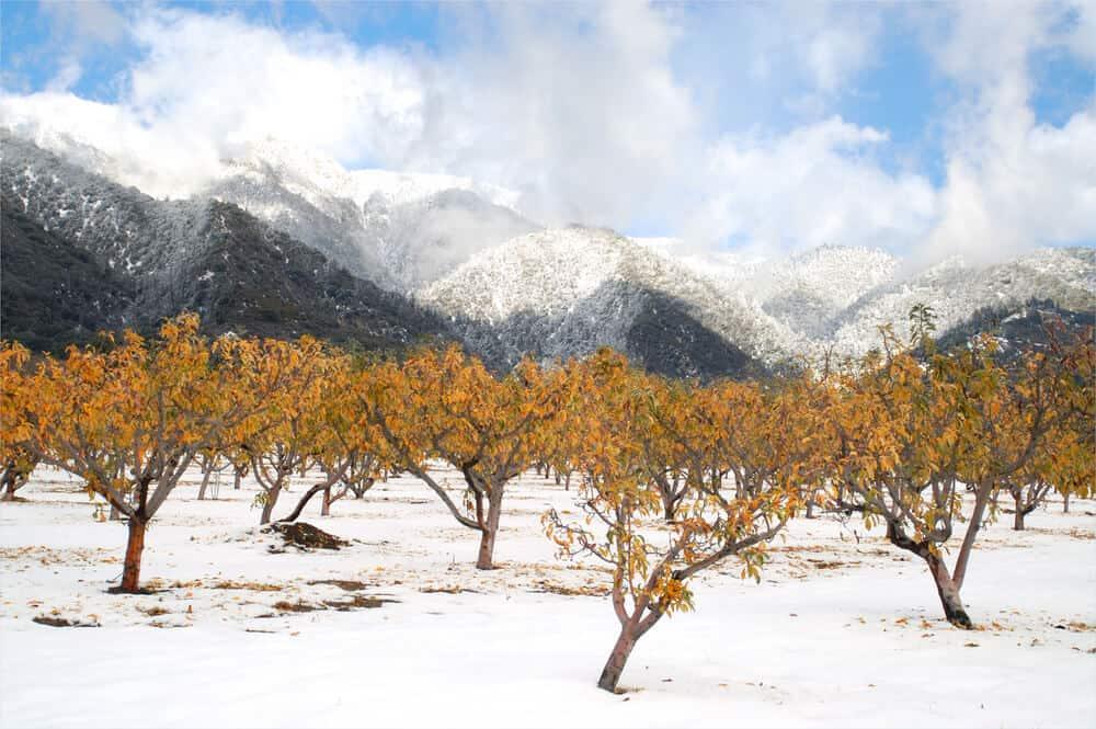 Apple trees with orange leaves and freshly fallen snow in Oak Glen