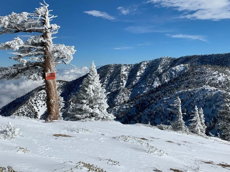 a tree on mt baldy covered in snow