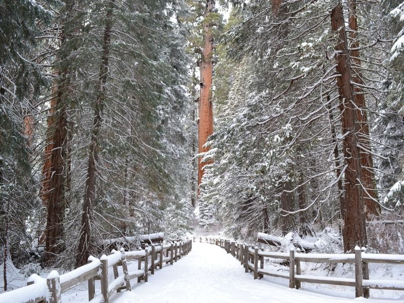 a giant sequoia grove coated in snowfall in california in the winter in sequoia national park