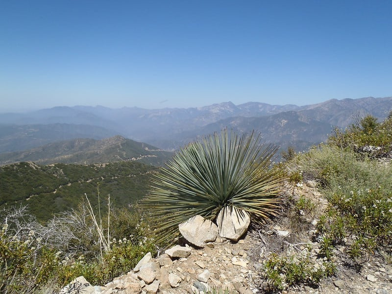 a yucca plant along this los angeles hiking trail in angeles national forest