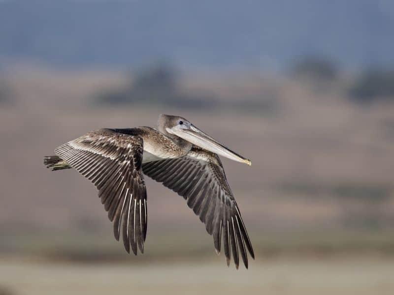 pelican flying over the water in moss landing california