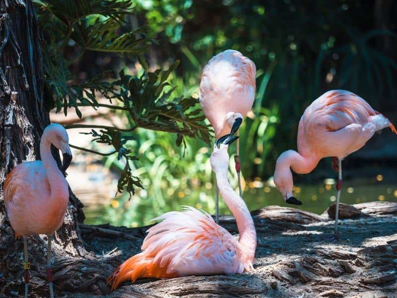 a group of four pink flamingoes at the san diego zoo