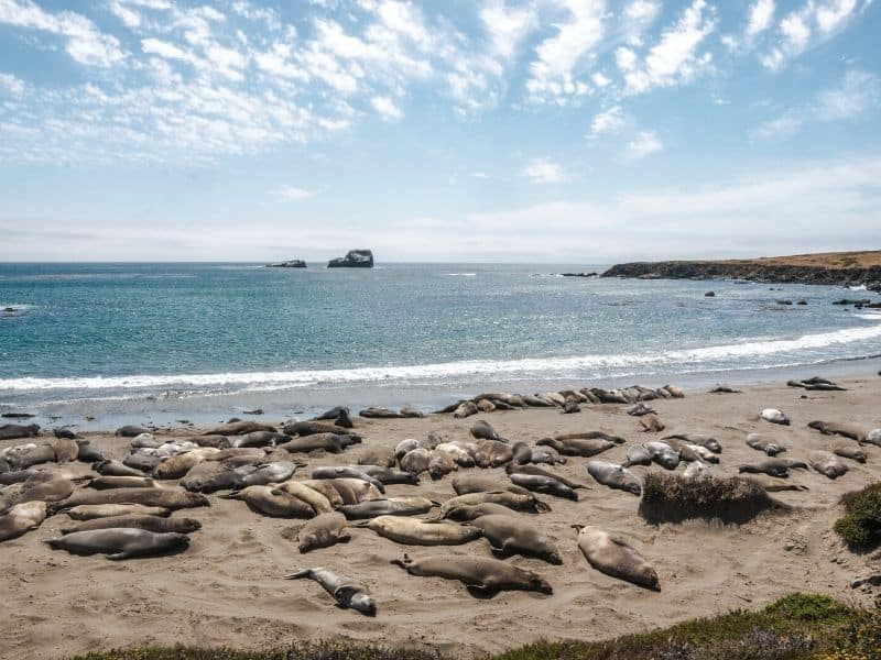the elephant seals of big sur california on the beach