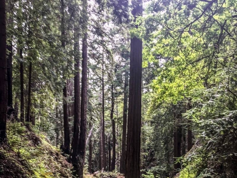 redwood trees in big sur california in a forest