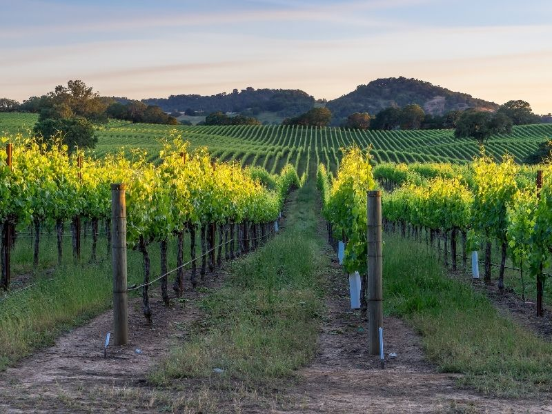 the vineyards in healdsburg at sunset with rolling hills in the distance