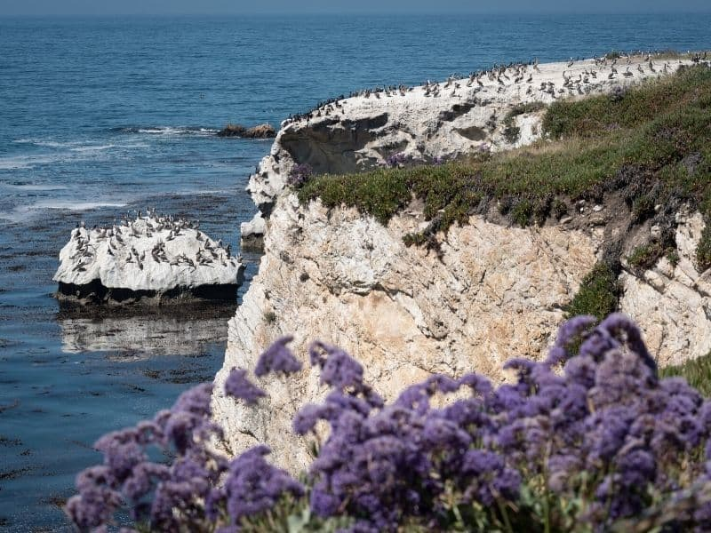 pelicans hanging out on the rocks at dinosaur cave state park with purple flowers in the foreground and lots of b irds on cliffs and islets