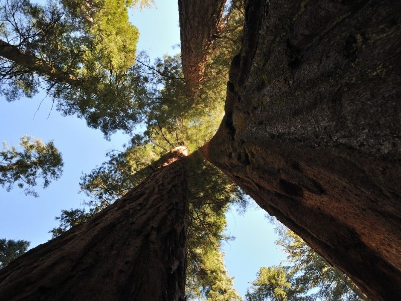 looking up towards the sky, admiring massive redwood trees