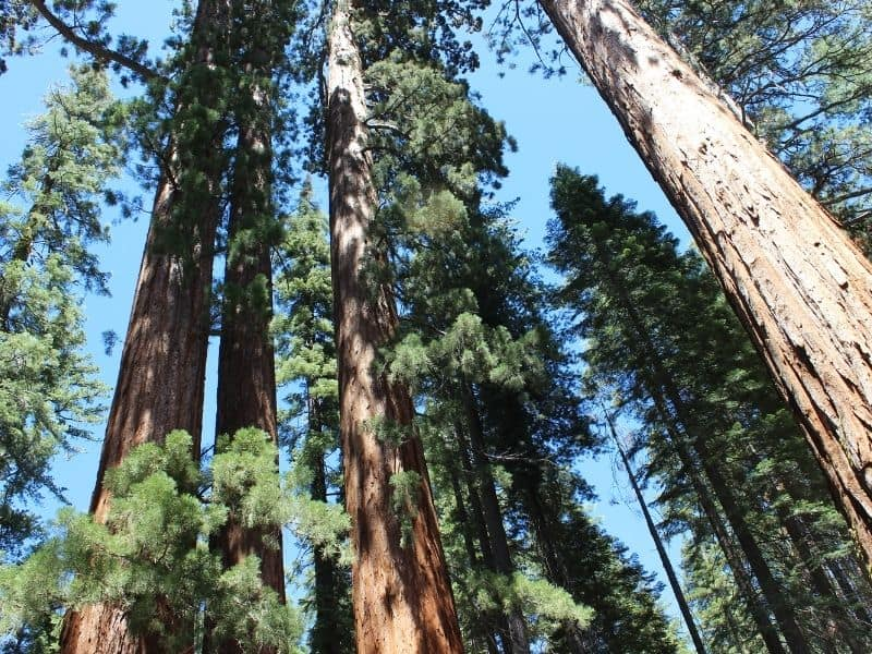 viewpoint of giant sequoias in yosemite looking up towards the sky