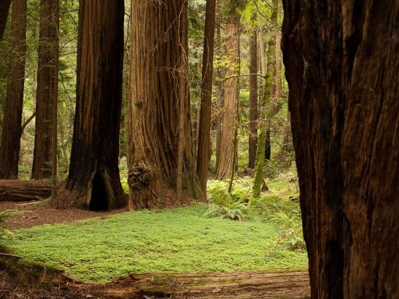 redwood trees and floor covered in moss in a redwood forest in muir woods