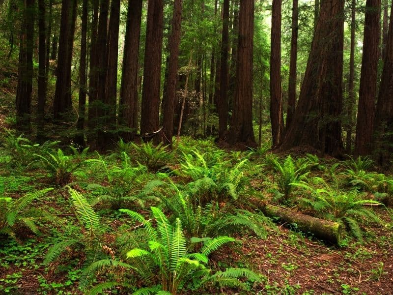 large bright green ferns on the forest floor next to redwoods in muir woods national monument