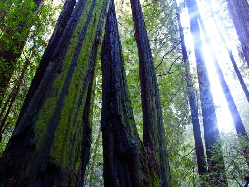 dark bark of redwood trees with some of the bark covered in green moss and the light coming in from an angle in the late afternoon