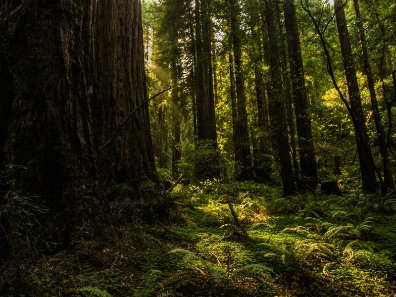 close up of one tree, with foliage on the forest floor, with smaller redwood trees and other trees behind it