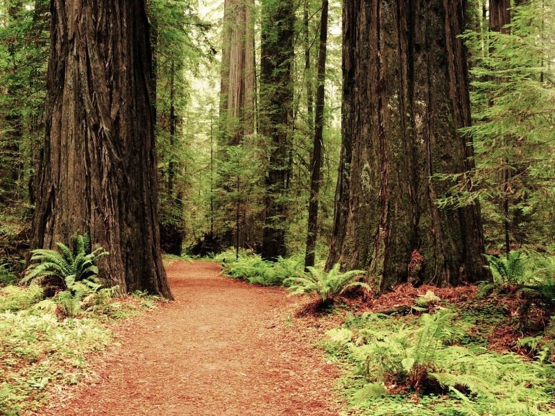 a trail in muir woods amongst the redwood trees in the forest near san francisco