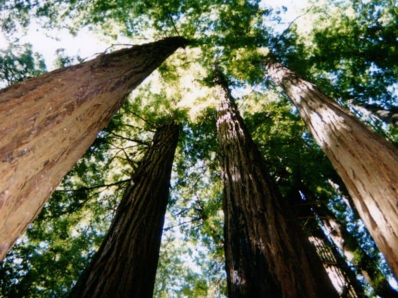 photo with the angle looking up towards the canopy of redwood trees