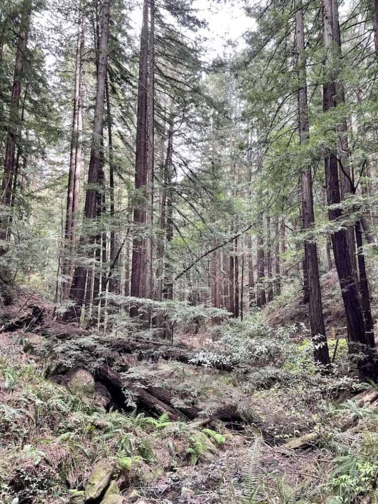 the tall towering redwood trees of reinhardt redwood regional park in oakland