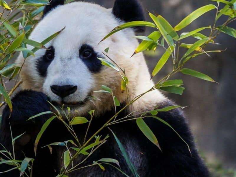 panda eating bamboo at the san diego zoo