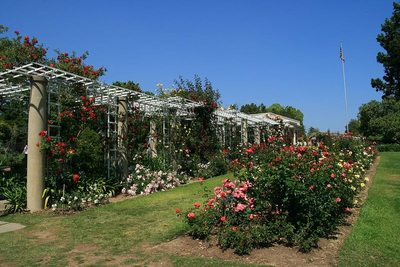 roses in a row and snaking up along a trellis in the rose garden
