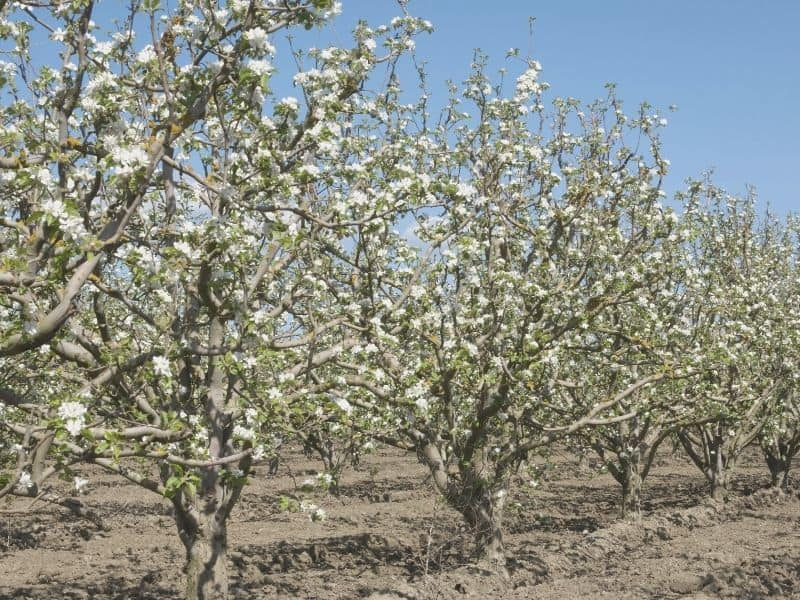 apple trees in a row with white blossoms on the trees