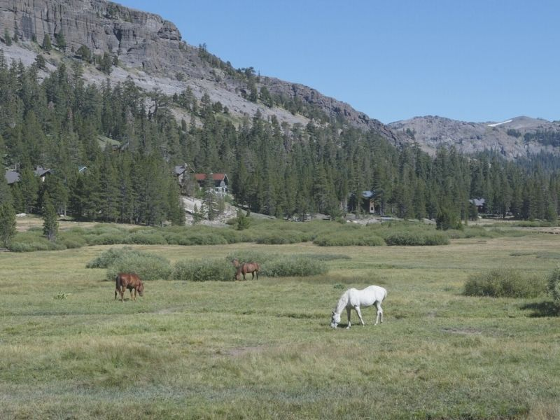 horses grazing in kings canyon national park in the sierra nevadas