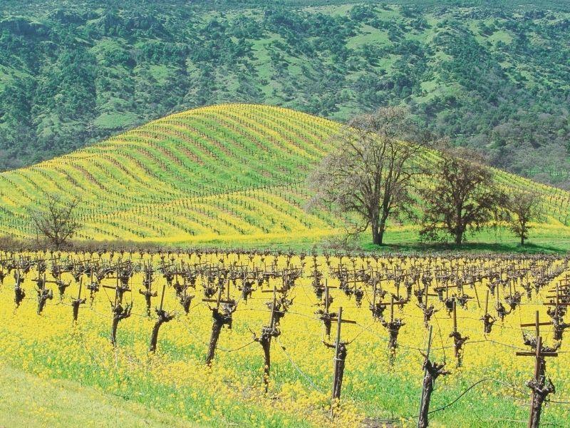 mustard flowers in napa vineyard on a hill in winter in napa
