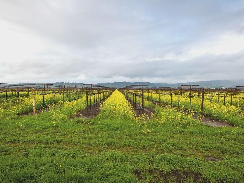 mustard fields in between rows of wine in sonoma